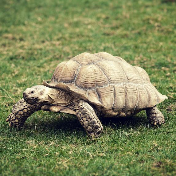 emotional support tortoise