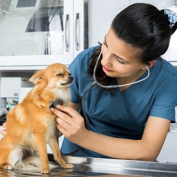 Vet checking a dog
