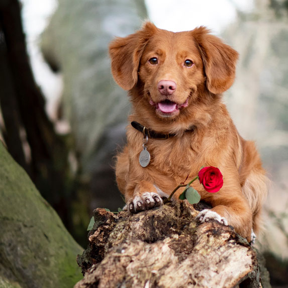 Beautiful pup with a rose in his paw