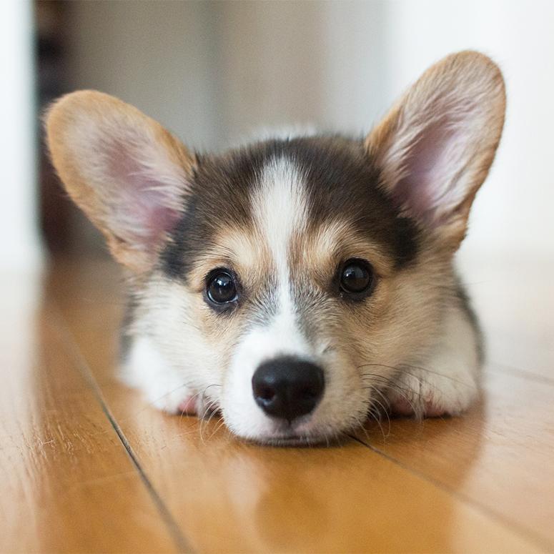 Cute tricolour Pembroke Welsh Corgi puppy