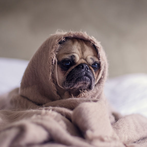 Doggie wrapped in a blanket