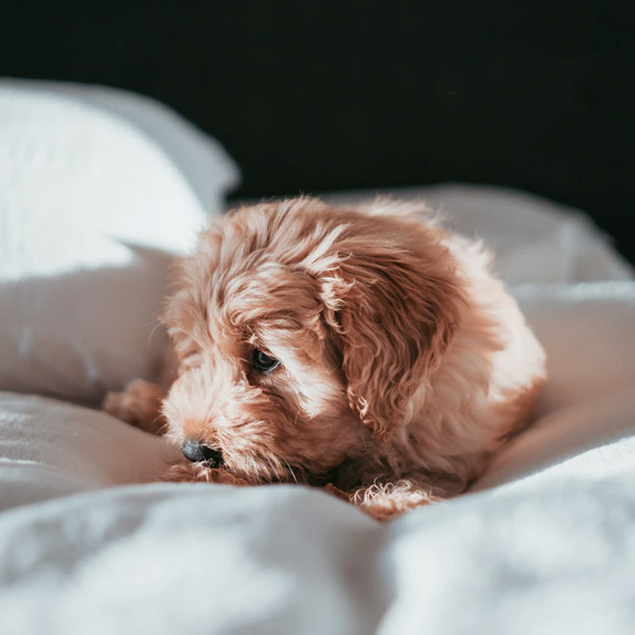Doggie sleeps in bed
