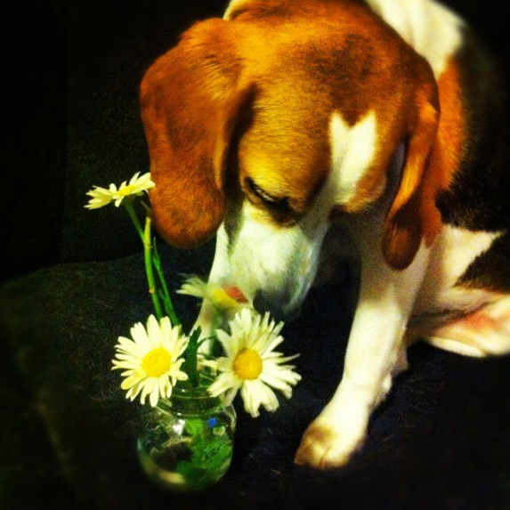 Perfect beagle sniffs flowers — will his mom ever find love?