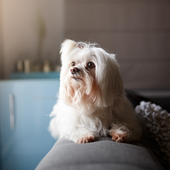 Lhasa Apso dog sitting on apartment couch