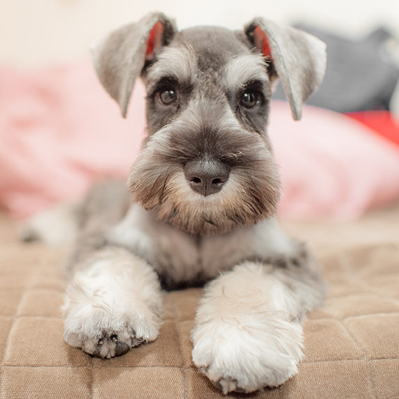 Miniature Schnauzer lying on apartment couch