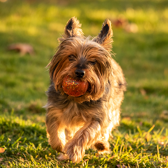 Silky Terrier playing catch with ball outside