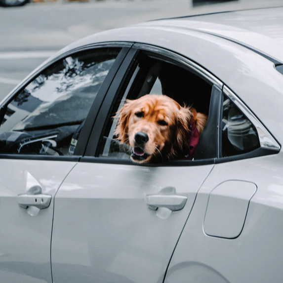 Golden retriever in a car