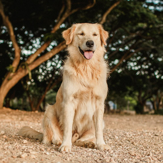 Golden retriever looking so handsome