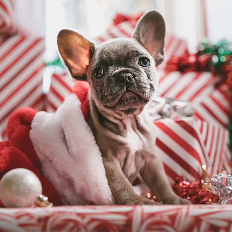 An adorable puppy sitting in a Santa Claus hat
